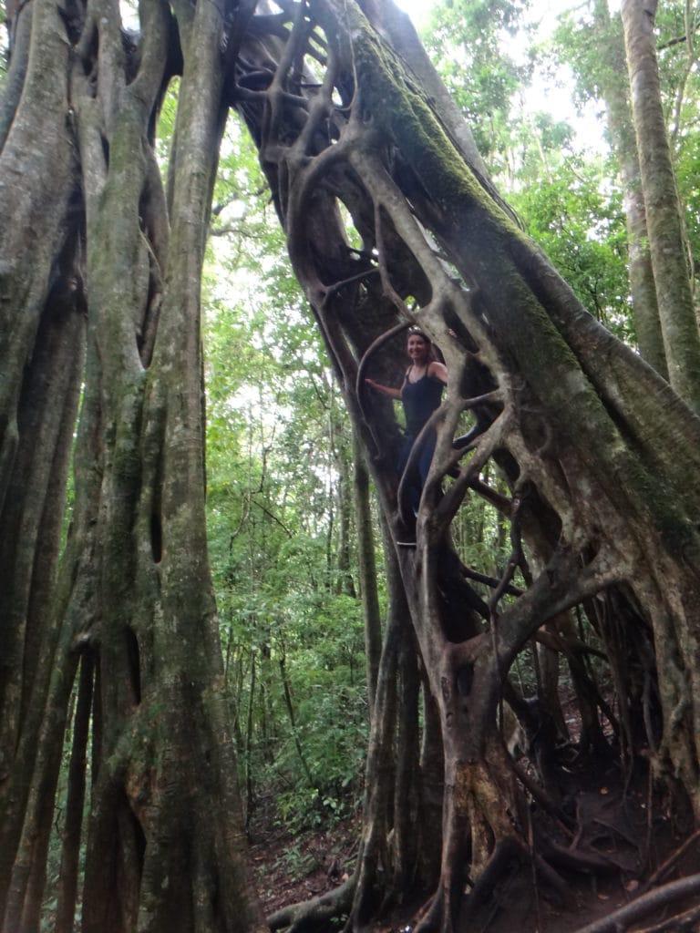 Monteverde, holle boom