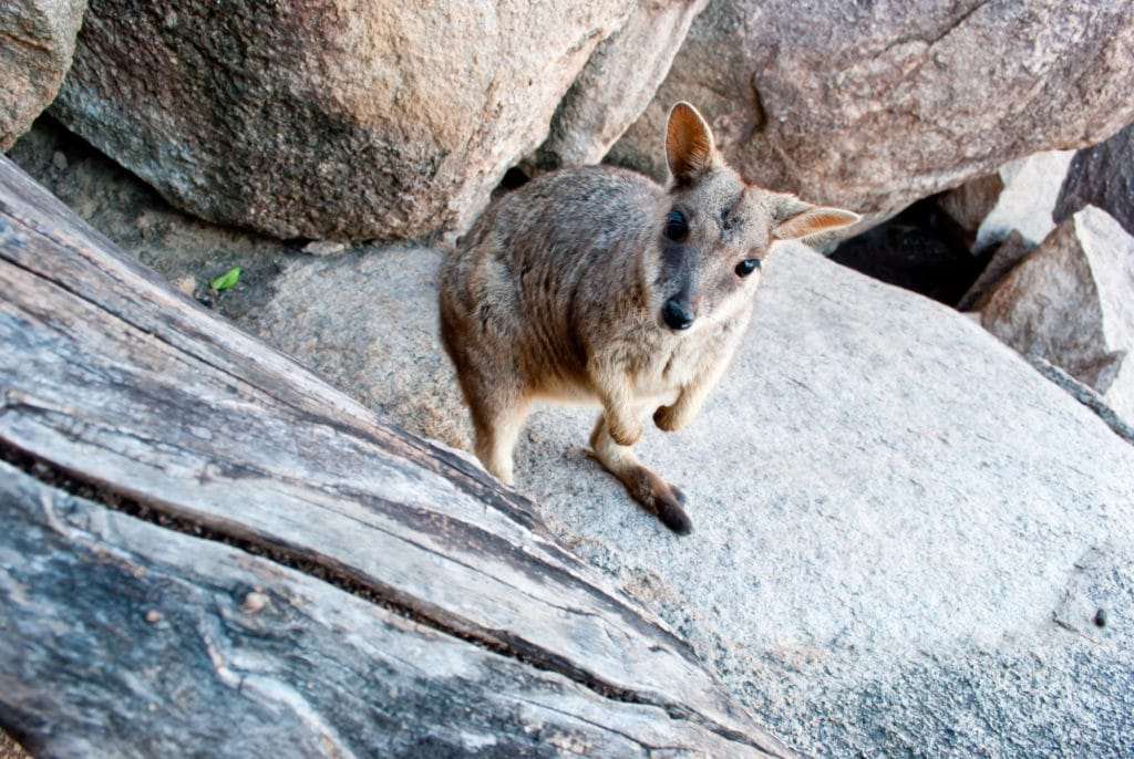 Rock wallaby, Magnetic Island, Australia